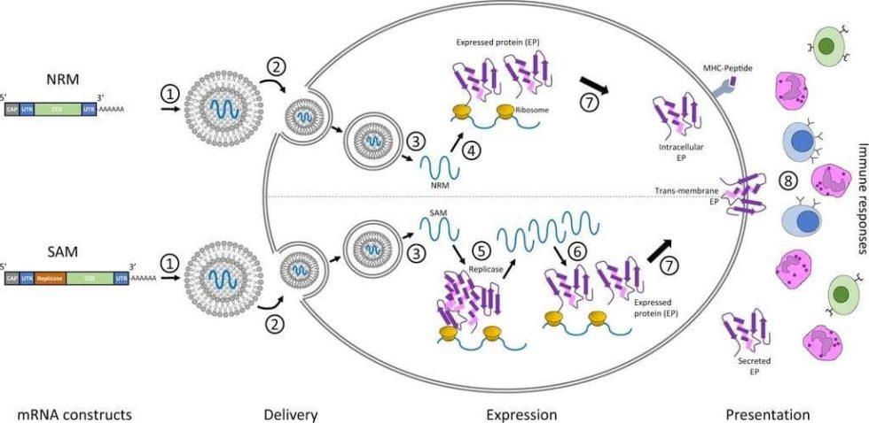 Arnm y la célula